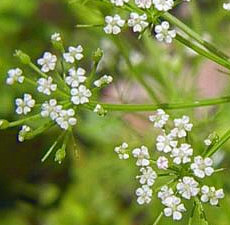 trachyspermum-ammi